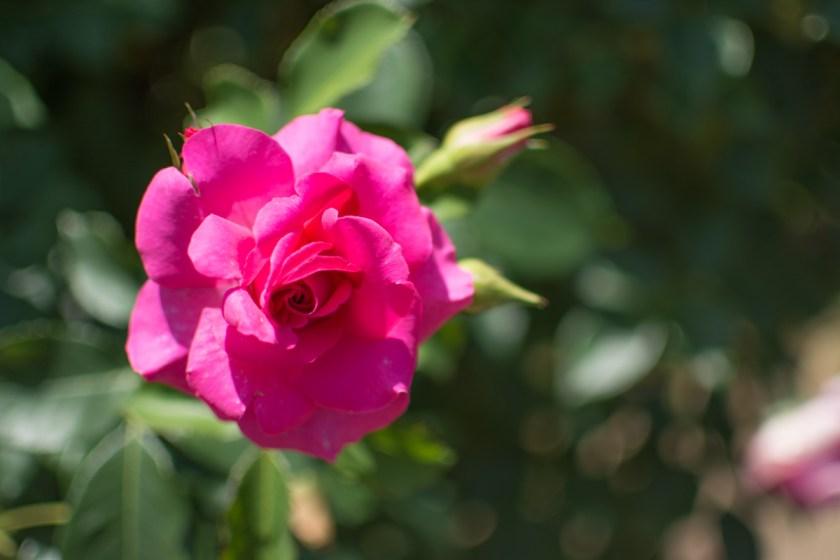 京成バラ園のバラ