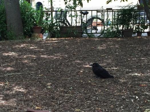 公園の木陰で休憩中の烏