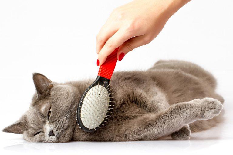 Уход за котенком-британцем прививки питание