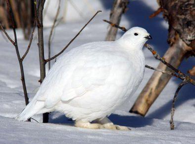 Λευκό πέρδικα