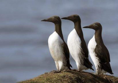 Είδος οξύραμφων θαλασσιών πτηνών
