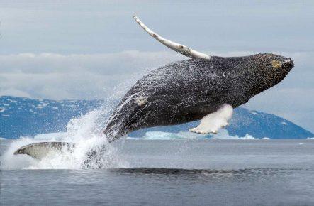 Φάλαινα Bowhead