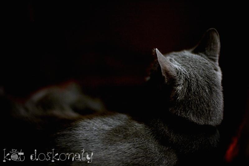 Koty Rosyjskie Niebieskie I Maine Coon Hodowla Kotów Rasowych