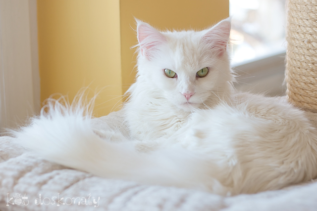 Kot Doskonały. Hodowla kotów rasowych.