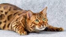 Особенности характера бенгальской кошки.