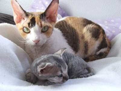 Мама и малыш девон-рексы.