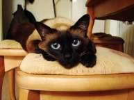 Сиамская кошка – живая тайская реликвия.