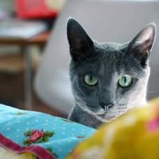 Характер русской голубой кошки.