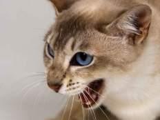 Почему шипит кошка.