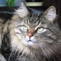 Сибирская кошка: интересные факты о породе.