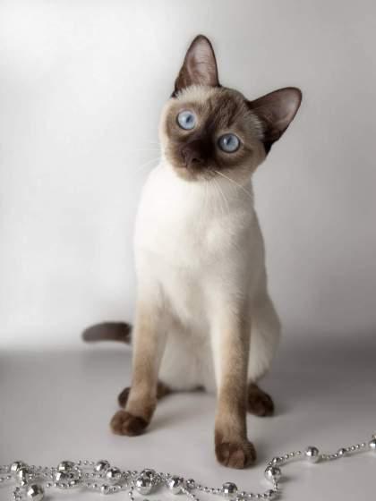 Тайская кошка: неповторимая грация.