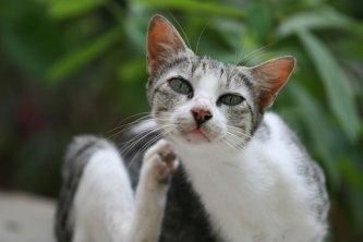 При большом количестве паразитов кошка беспокоится