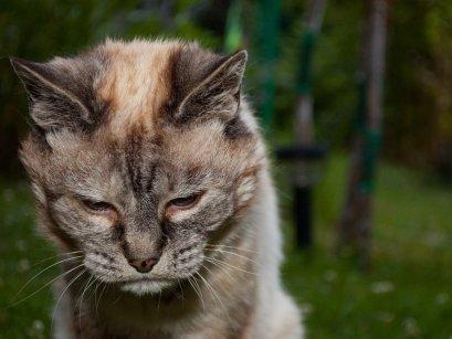 Признаком наличия блох у кошки является периодическое беспокойство животного