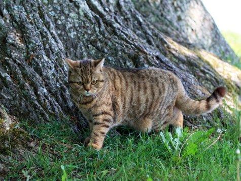 Кот метит территорию, указывая на свои владения
