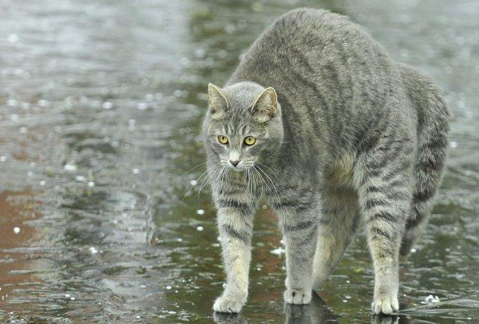 Боязнь воды у кошек унаследована от диких предков