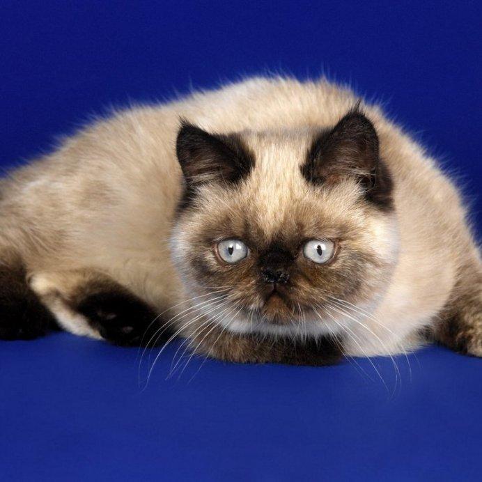 Гималайско-персидский кот