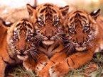 Тигр - самая большая дикая кошка