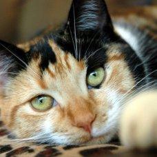 Кошки с черепаховым окрасом не пользуются сейчас популярностью