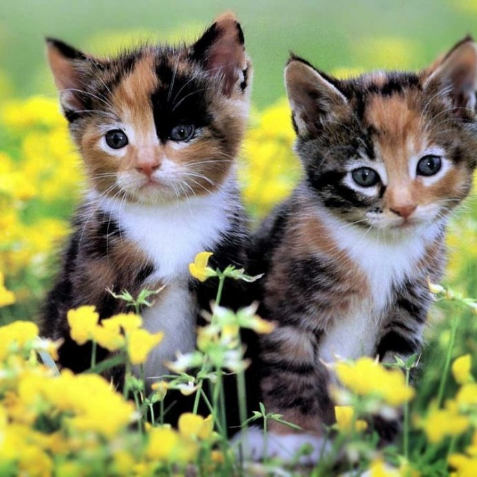 Трехцветные кошки приносят удачу