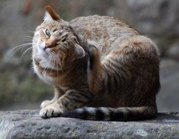Отит вызывает зуд в ушах у кошек