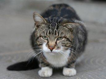 Не стоит забывать о гигиене ушек кошки