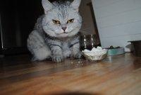 Шоколад может вызвать рвоту у кошки