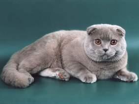 Характер шотландской вислоухой кошки.
