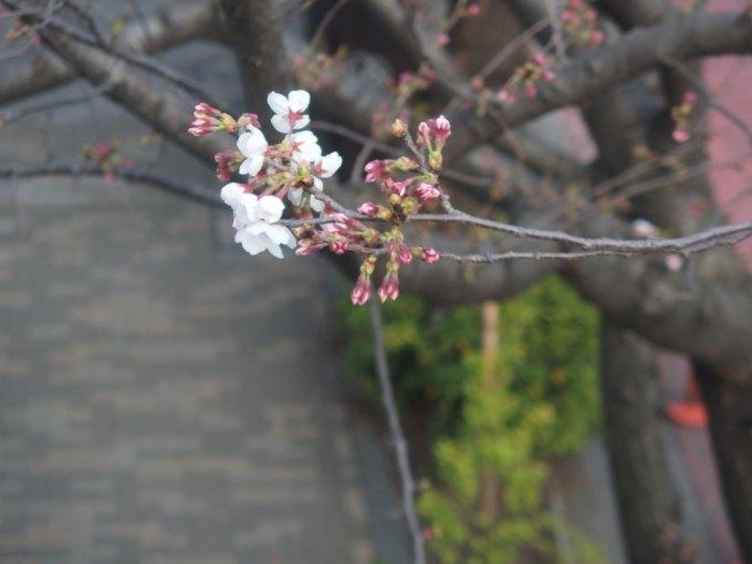 まだ咲ききらぬ染井吉野、2016.3.27