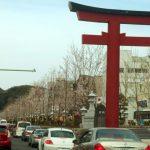桜咲く、新しくなった若宮大路の段葛を、さっそく見てきました。豆知識つき。