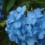 2016年、今年の明月院の紫陽花は、青色が鮮やかでした。