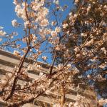 これは早すぎ!今年も気の早い玉縄桜が咲いていました。