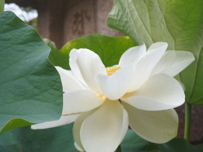 覚園寺 黒地蔵盆 ハスの花