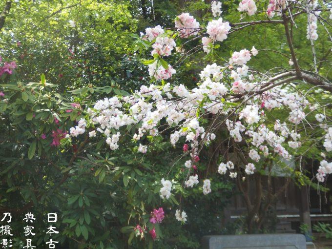 安国論寺 桃の花