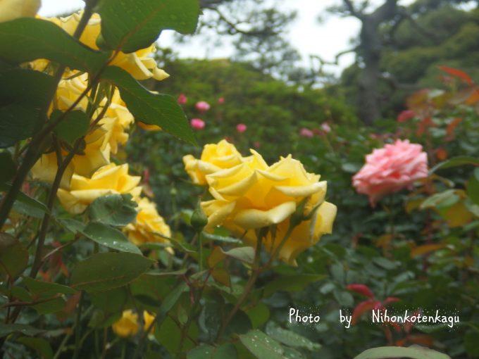 鎌倉文学館 薔薇園