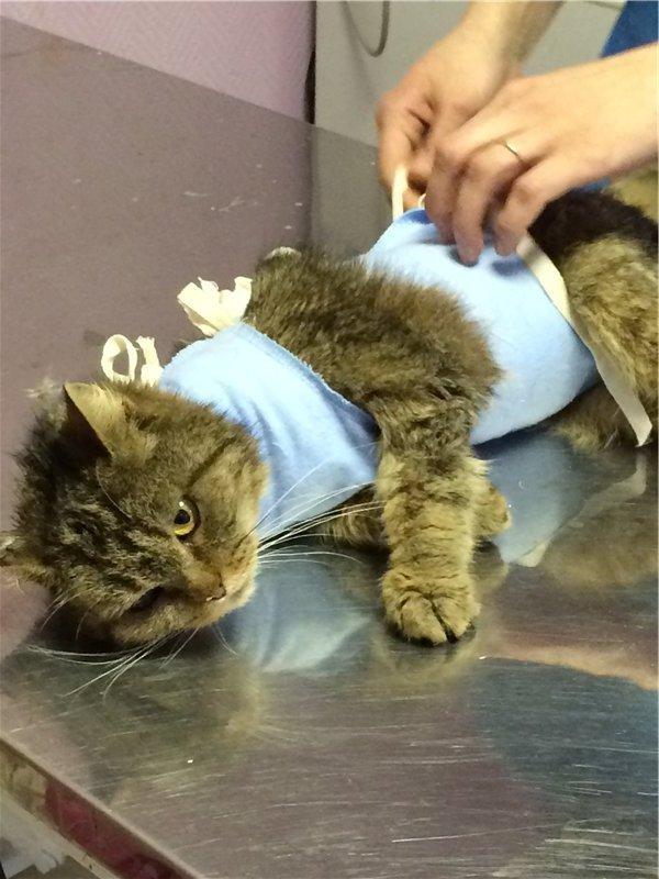 Реабилитация кота после обрезания