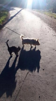 Aurinko on jo alhaalla ja varjot pitkiä. Mistä eläimistä luulisit olevan kyse, jos näkisit pelkästään varjot? Ohessa ollaan viikonlopun päiväkävelyllä koiran ja kissan kanssa Rummakossa. Kuvan otti Asko Aarnio. Kotiseutu-uutiset 6.10.2016