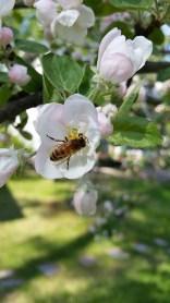 Hunajissa on makueroja. Omenat antavat hunajaan oman arominsa, horsma ja muut kasvit omansa. Kuva: Anne Mujunen