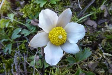 Kangasvuokko kukkii jo Rääkkylässä.