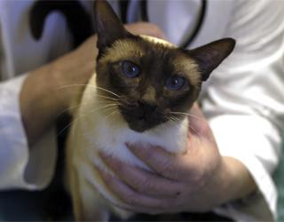 Бронхит у кошек симптомы и лечение