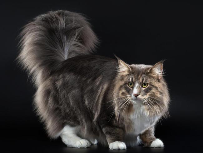 Veľký Keňský mačička