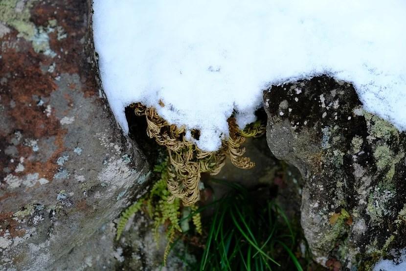 x-t4で撮影の庭の冬のイワヒバの写真