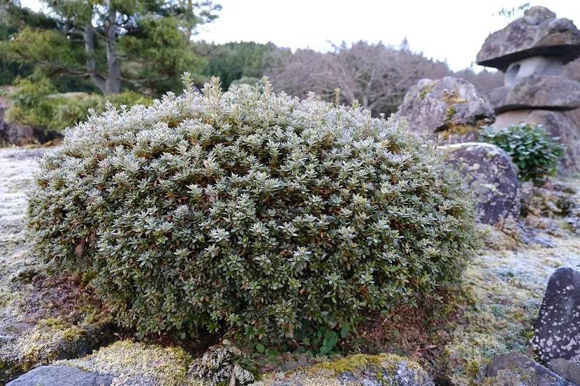 フジX-T4で撮影の庭の植木の冬写真
