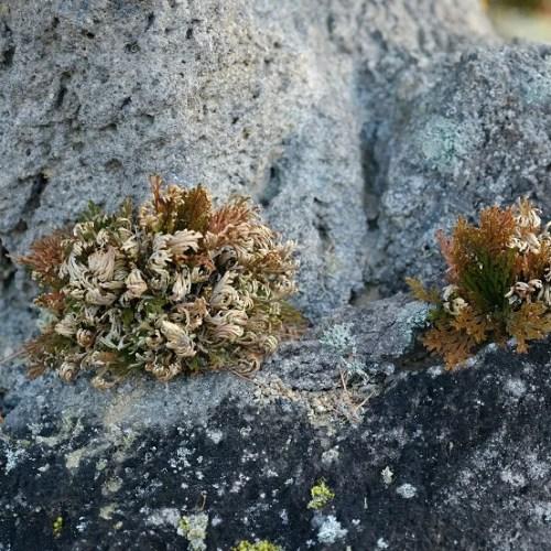 岩に張り付いたイワヒバの写真