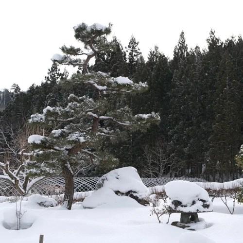 庭の松の冬の写真
