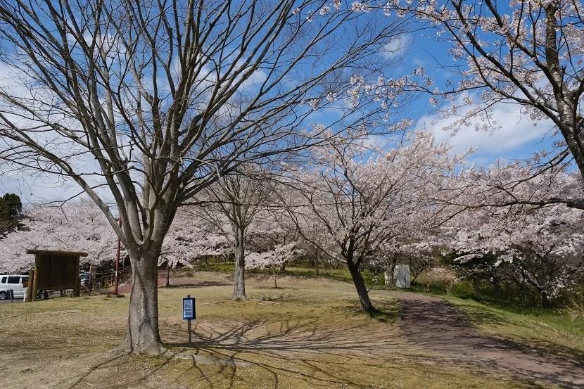 多聞山の桜の写真