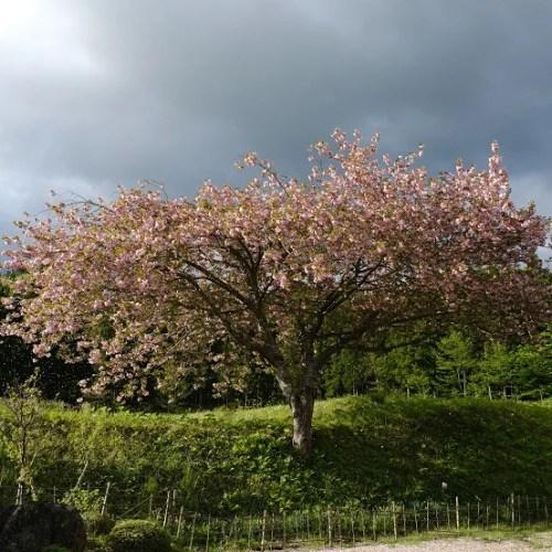 x-pro3で撮影の庭の山桜