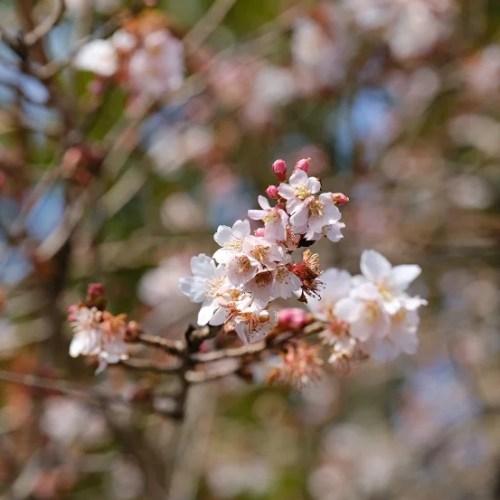 塩釜神社境内内の桜の花の写