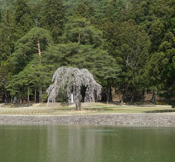 毛越寺大泉が池の枝垂れ桜