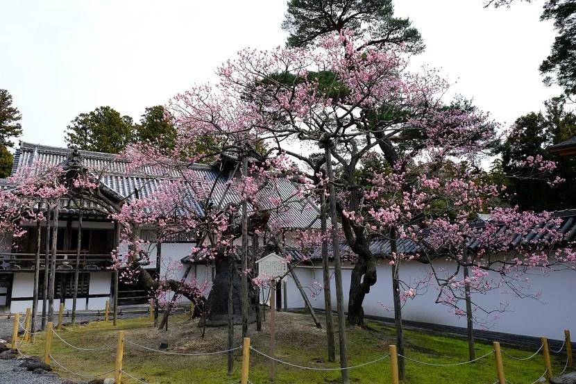 x-pro3で撮影の松島瑞巌寺の臥竜紅梅(赤)の写真