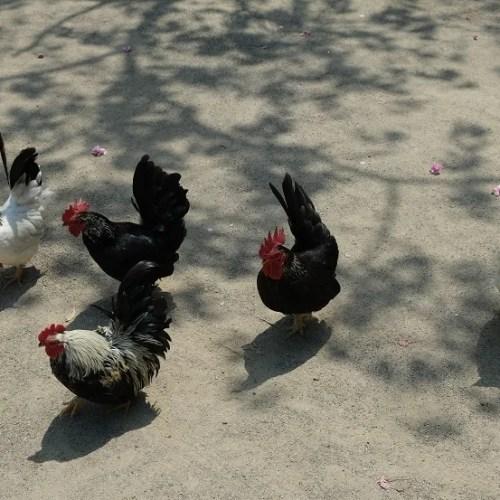 大崎八幡宮の鶏の写真